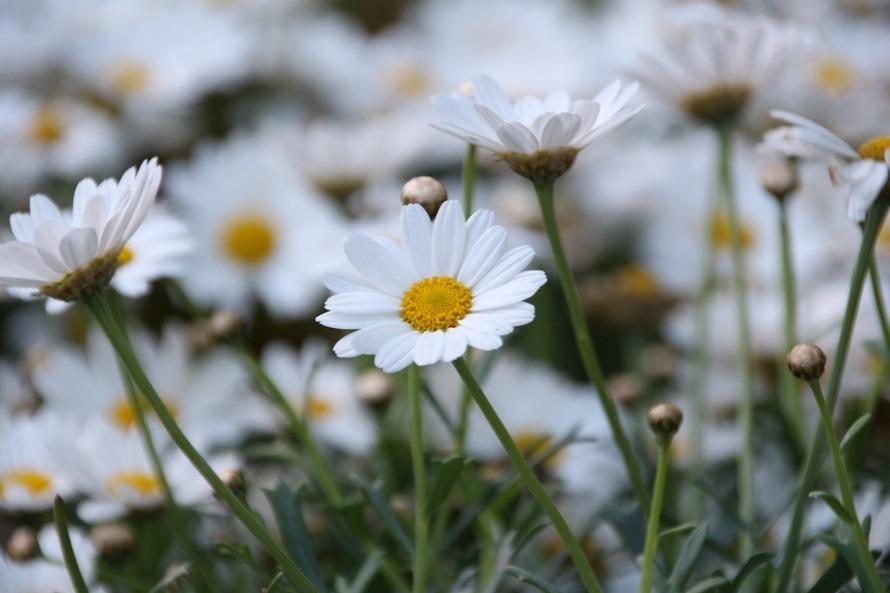 daisy-404195_960_720